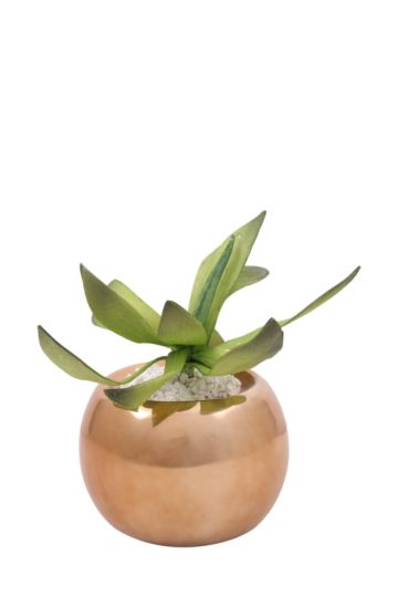 Agave Belly Potted Plant