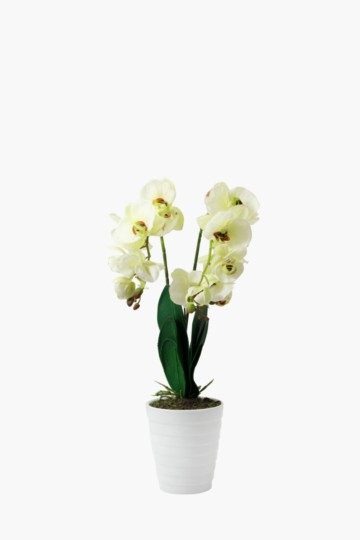 Classic Orchid In Ribbed Pot