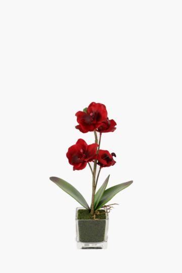Mini Orchid In Pot