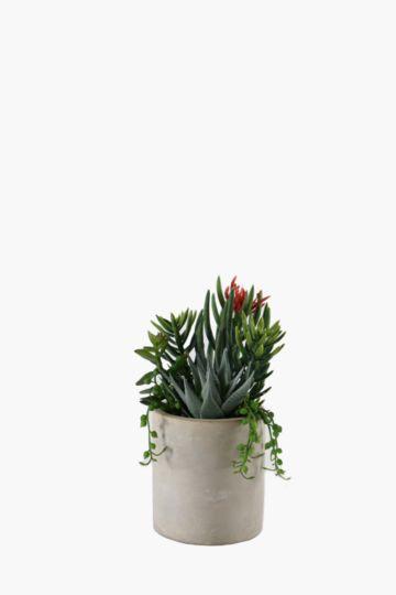 Trailing Succulent In Ceramic Pot