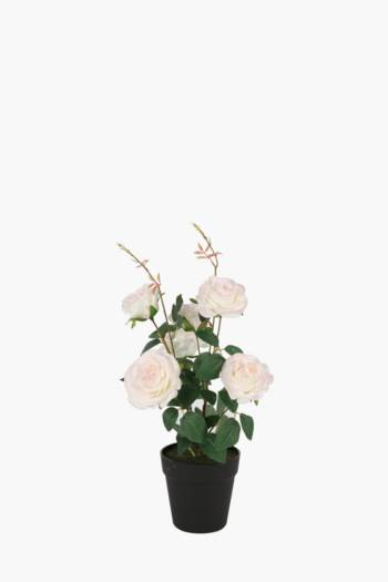 Rose Bush In Plastic Pot