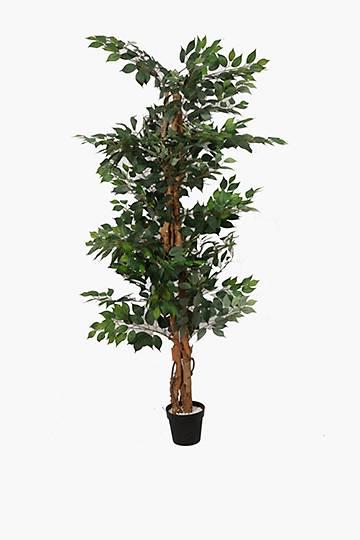 Ficus Tree Xl