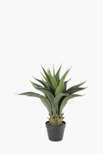 Dragon Aloe Potted