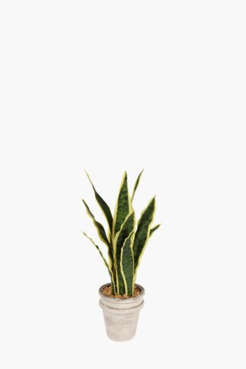 Vipers Bowstring Potted Plant