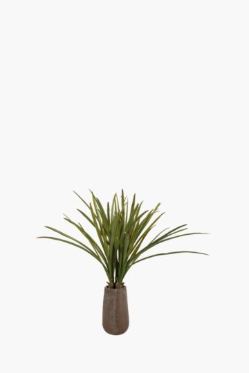 Red Tip Grass Potted