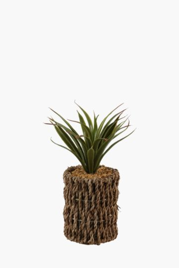 Agave In Seagrass Pot