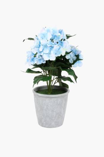 Hydrangea Bush In Plastic Pot
