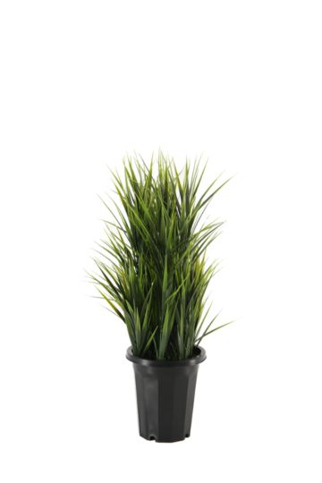 Grass In Extra Large Pot