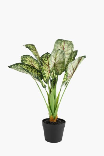 Elephant Ear In Plastic Pot