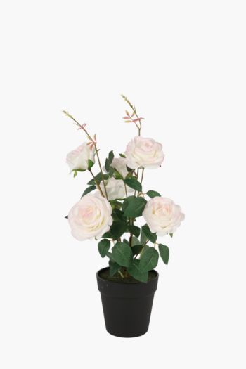 Rose Bush In Plastic Pot
