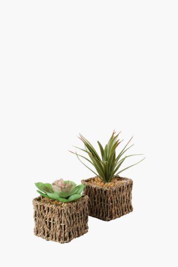 Assorted Mini Seagrass Succulent